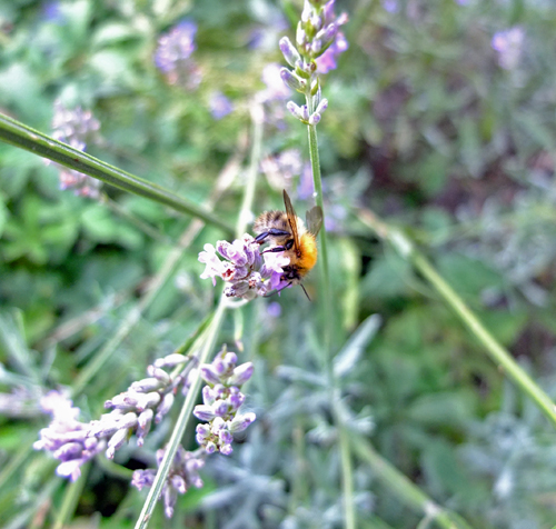 A bee enjoying some Lavender.