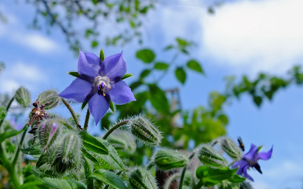 Edible Flowers, Poor Man's Capers and Save the Bees