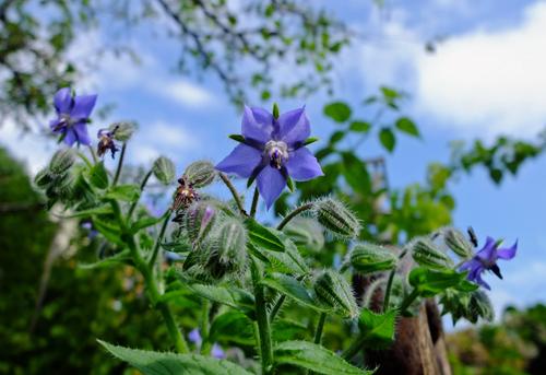 Edible Flowers - Blue Borage