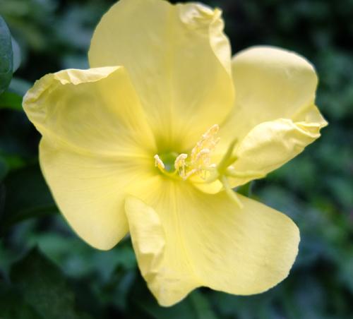 Closeup of an Evening Primrose flower.