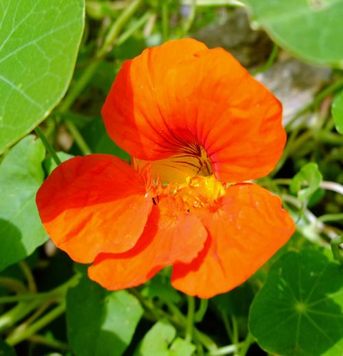Closeup of a Nasturtium flower in the sunshine.