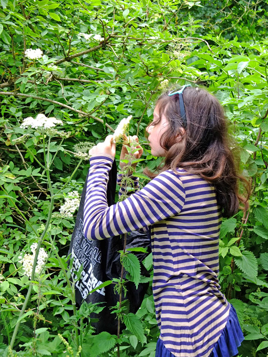 Young girl picking elderflower heads.