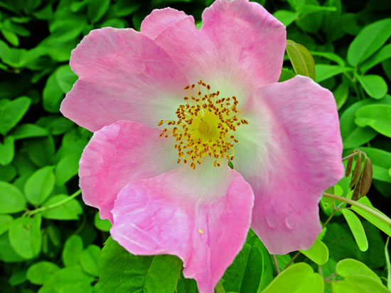 A wild rose with pink petals.