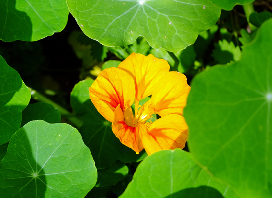 A nasturtium flower surrounded by its leaves.