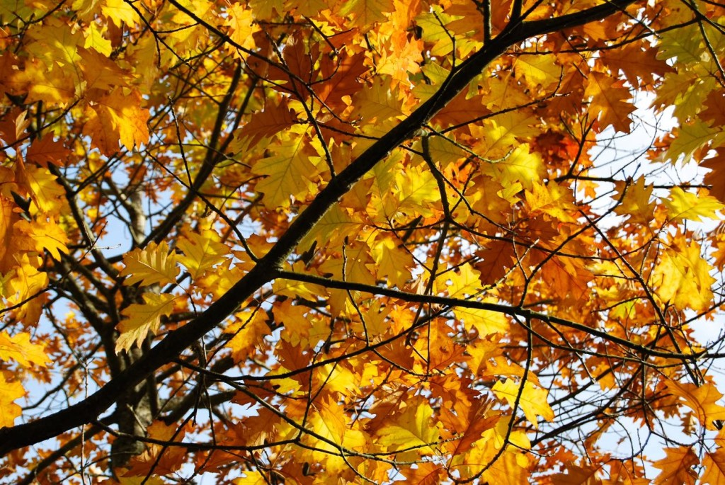Colourful autumn leaves to use in autumn leaf crafts.