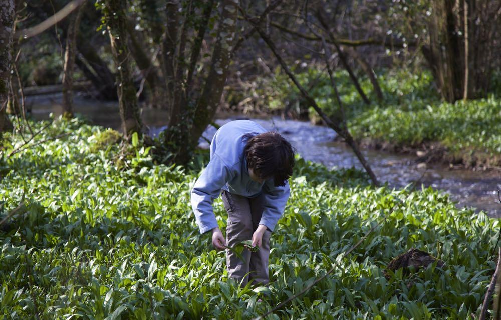 Collecting wild garlic.