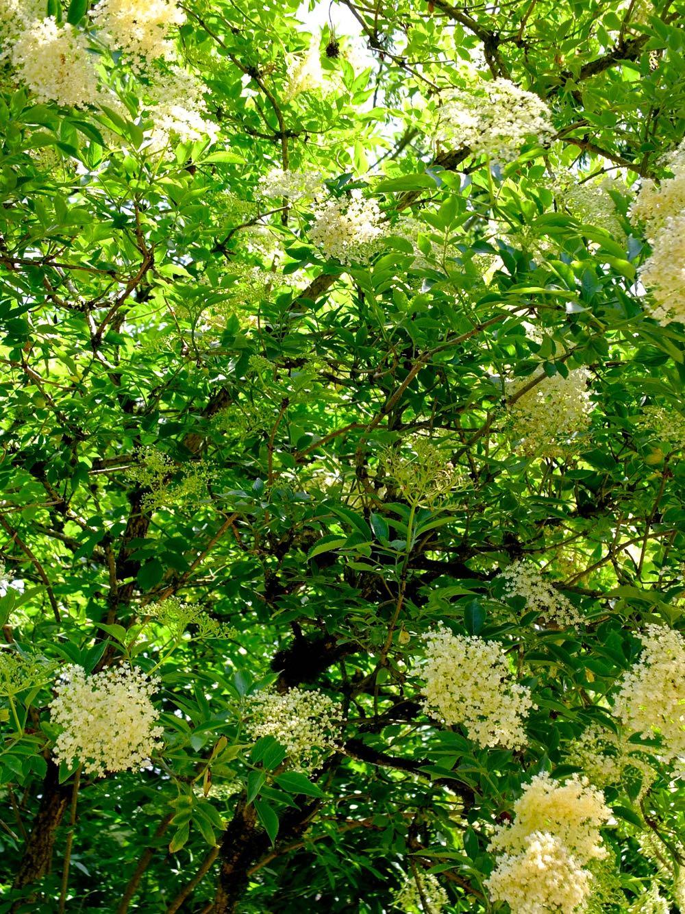 Sunlight shining through an elderflower bush.
