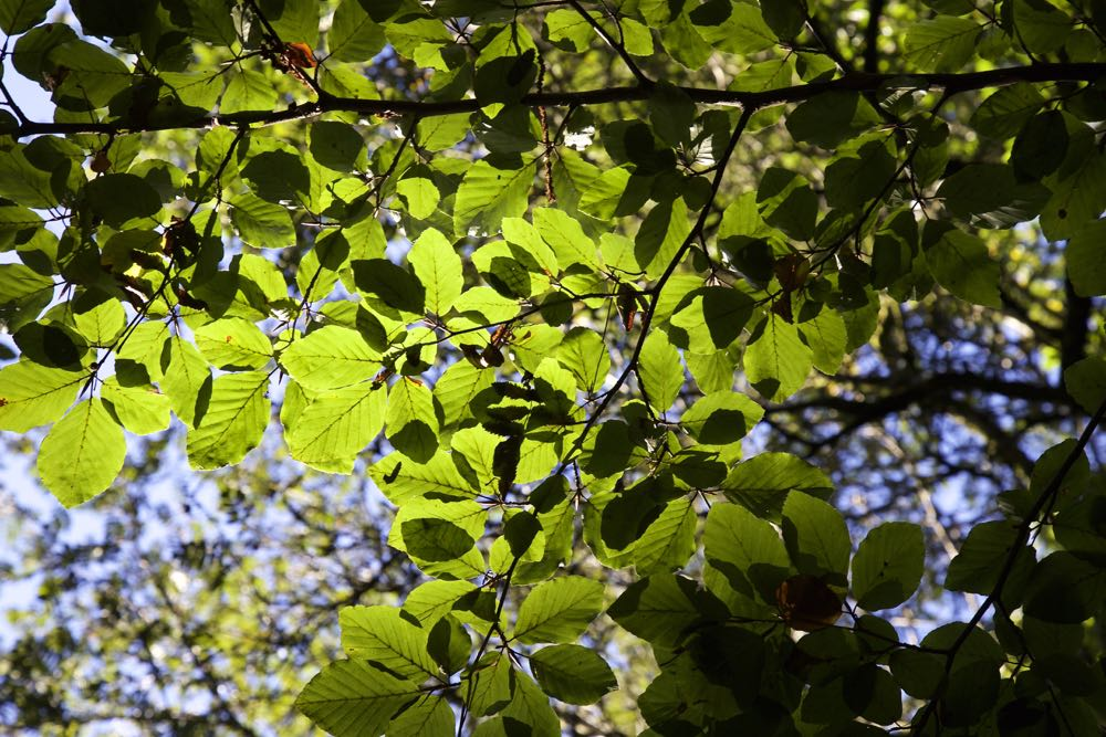 Leaves on a beech tree, backlit by the sun.
