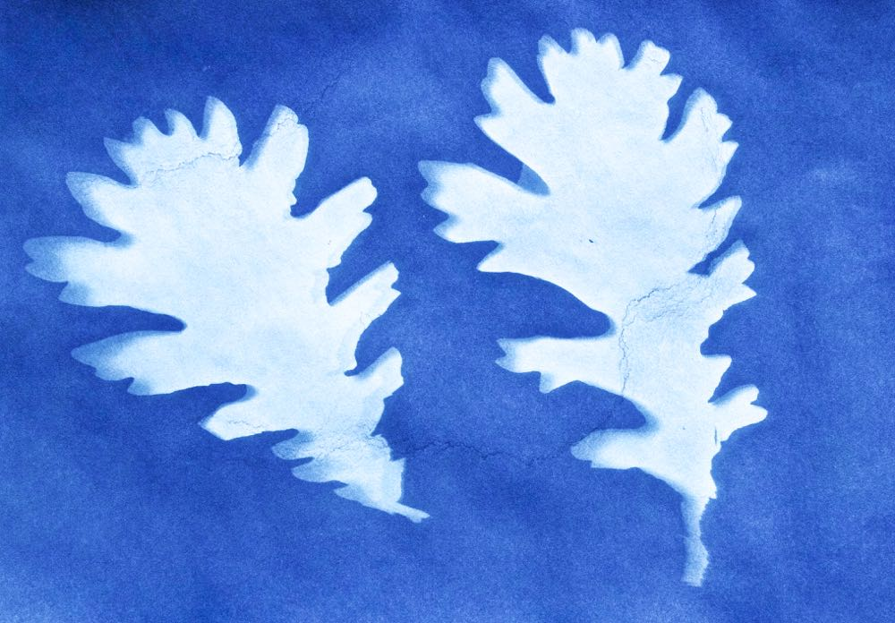 Sun print picture of English Oak Leaves.
