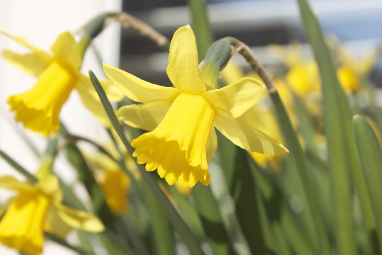 Close up of daffodils in a garden.